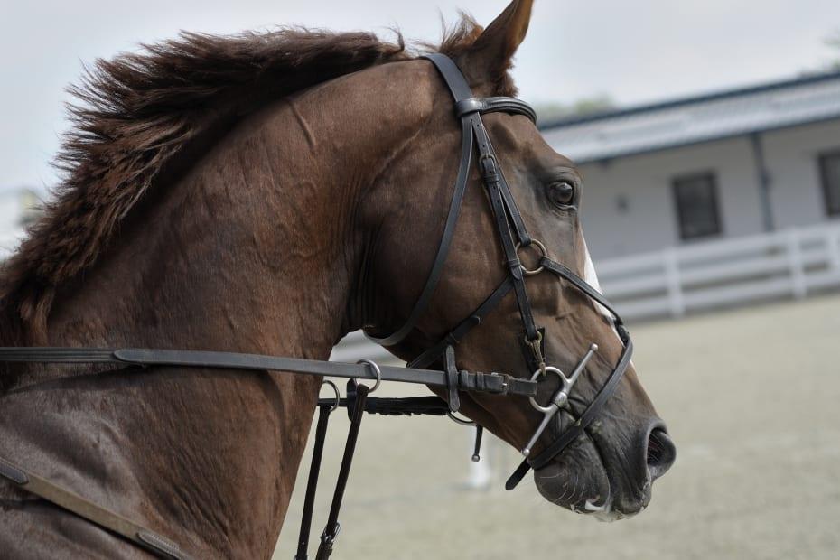 Καφέ άλογο στον στίβο με ηνία