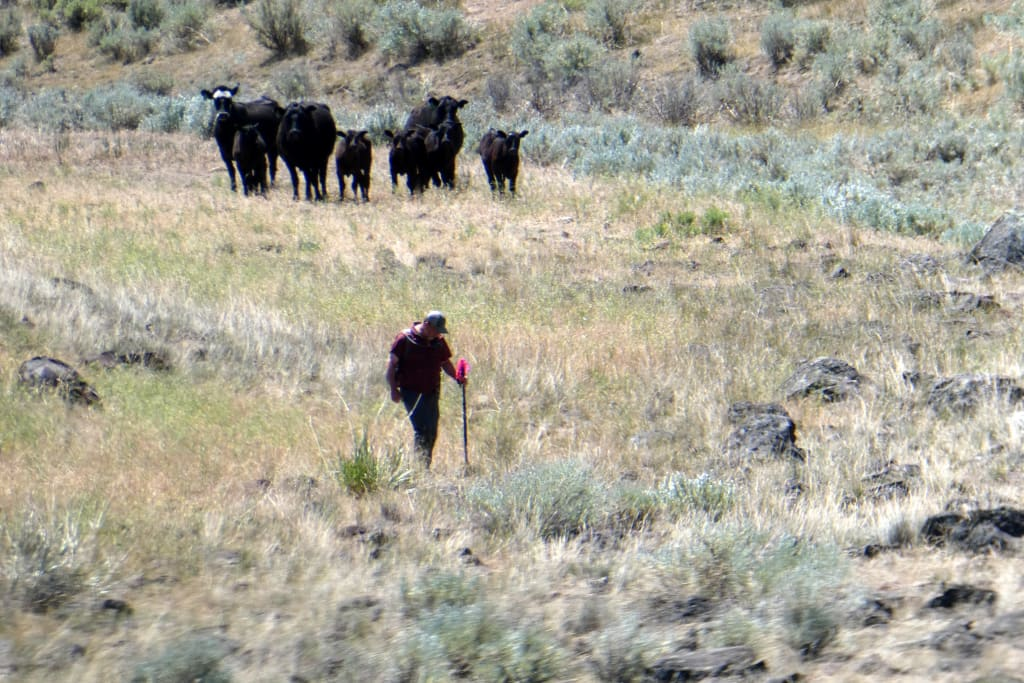 Doug Hill surveying in eastern Oregon with an audience of concerned cattle