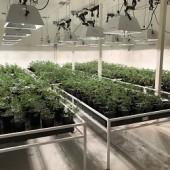 Organic Green Premium Clones