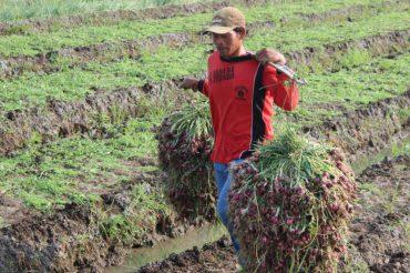 Petani saat mengangkat hasil panen bawang.