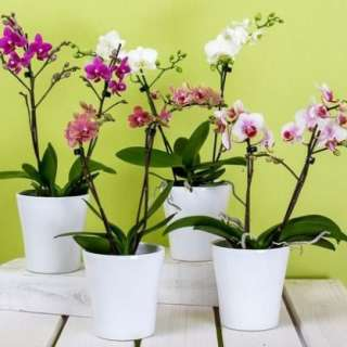 Growing Orchids with the Orchid Goddess