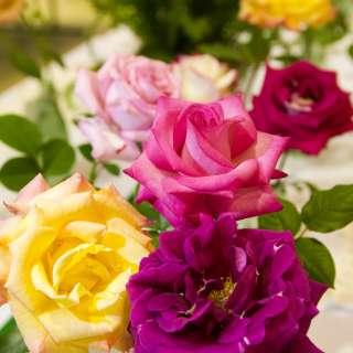 Asheville Blue Ridge Rose Society Exhibition