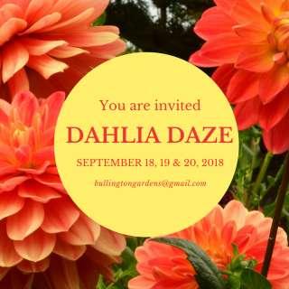 Dahlia Daze
