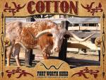 Cotton Longhorn