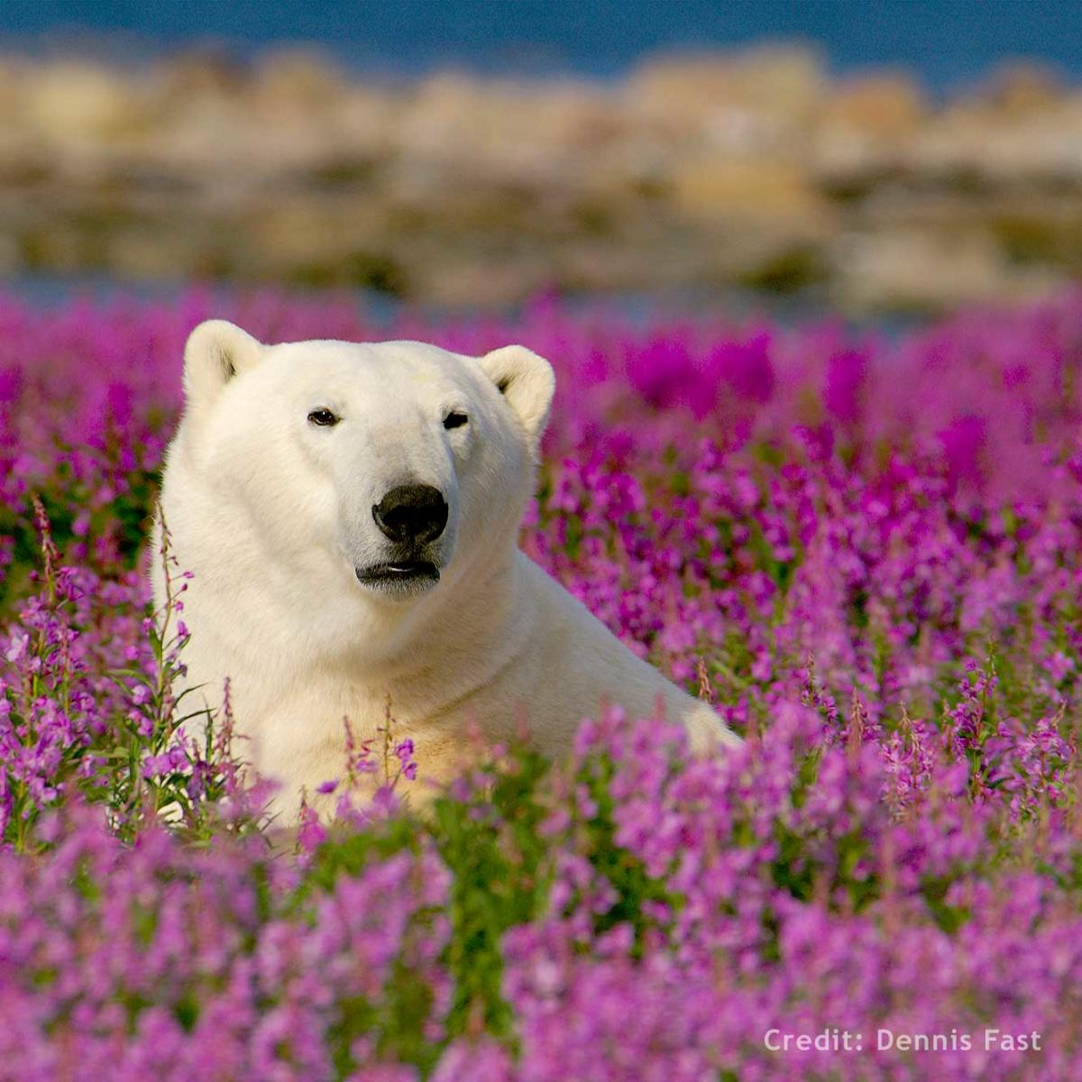 Polar bear in the fireweed near Churchill, Manitoba
