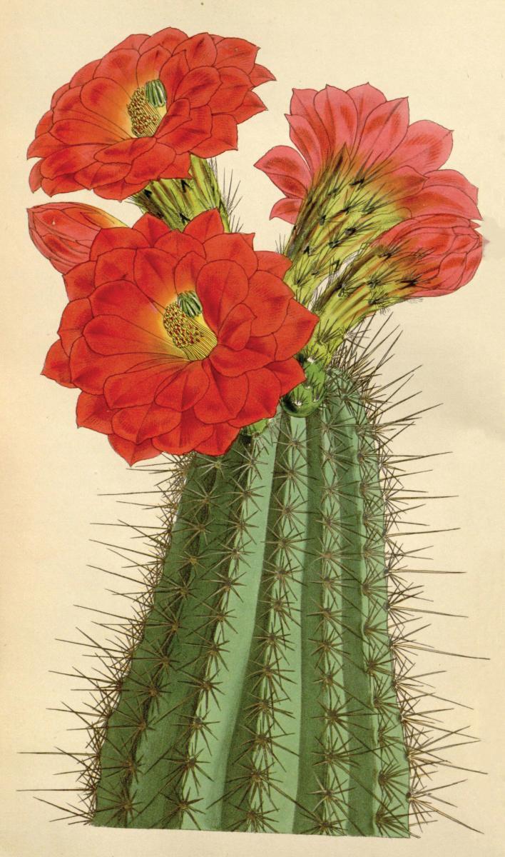 Claret Cup Cactus(EchinocereusCoccineus)