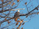 Several bald eagles have been sighted in recent weeks along the Oswego River on State Route 48 between Minetto and Oswego. (Photo by Mary Ellen Barbeau, Oswego County Tourism Office.)