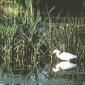 Snowy Egret in Arcata Marsh