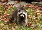 Learn about the Raccoon on Sunday, April 21 – 10 a.m. at the Hudson Highlands Nature Museum in Cornwall. Photo by Maureen Moore.