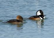hooded-merganser-9268.jpg