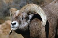 Find Big Horn Sheep in The Rocky Canyons of Estes Park