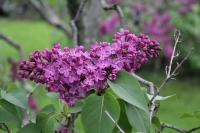 Purple Lilacs at Highland Park in Rochester, NY