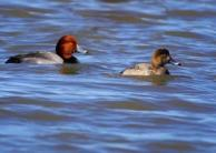 Redhead pair at Braddock Bay by Dave Beadling, Braddock Bay Gallery, Greece, NY.