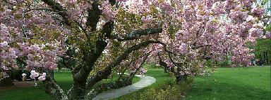 spring-blossom tree