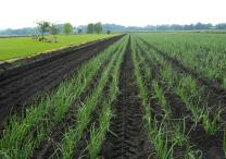 Black Dirt Region Onion Field