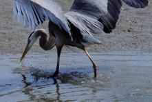 Arcata Marsh & Wildlife Sanctuary Lecture
