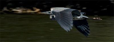 Blue Heron in flight over Esopus