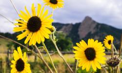 Boulder Sunflowers with Flatirons