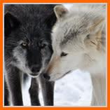 wolvesStare.jpg