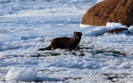 Mink in northern Manitoba