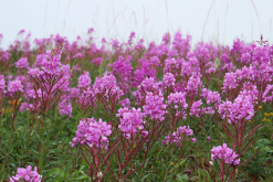 Fireweed in Churchill, Manitoba