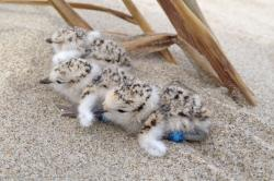 Plover Chicks, Siuslaw National Forest Service
