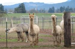 Alpacas by Cari Garrigus