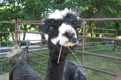 Alpaca at the Lavendar Festival by Cari Garrigus