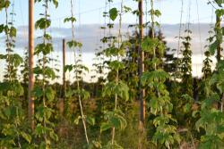 Hops at Agrarian Ales Brewery