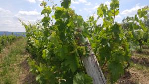 Early grapes on the vine