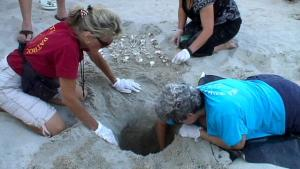 Volunteers at a sea turtle nest