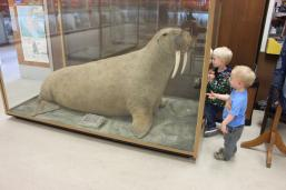 Apparently you can often smell a walrus before you see it