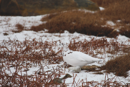 Ptarmigan in northern Manitoba
