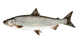 Сиг - один из видов рыбы, который можно поймать в Норвегии