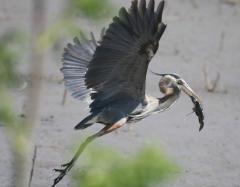 Kansas Kritters-Great blue heron