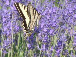 Okanagan Lavender & Herb Farm - Butterfly