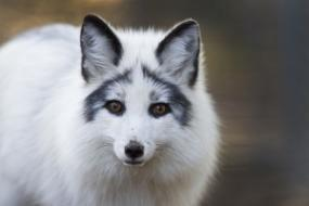 Ozzie is an Arctic Marble Fox