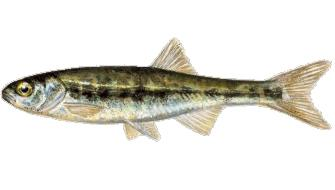 Minnow is one of the species you can fish in Norway