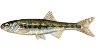 Гольян - один из видов рыбы, который можно поймать в Норвегии