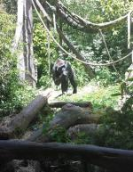 Sunny Day Adventure at Woodland Park Zoo in Seattle - Gorilla