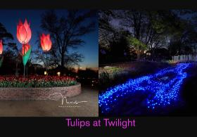 Tulips at Twilight
