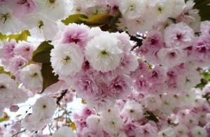 Top 5 Places to See Japanese Cherry Blossoms Point Defiance Park Japanese Garden in Tacoma