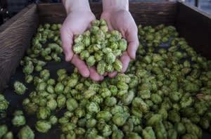 agrarian-ales-hop-harvest