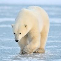 Telegraph polar bear