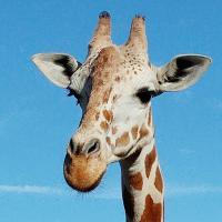 Giraffe Busch Gardens
