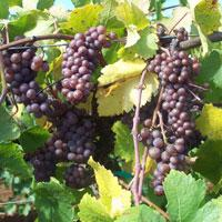 Grapes on the Vine, Winery, Willamette Valley, Oregon, by Sally McAleer