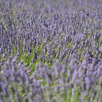 McKenzie River Lavender