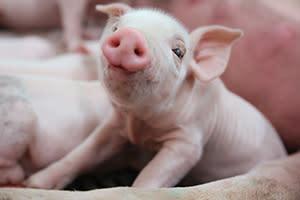 Fair Oaks Farm Pig Adventure