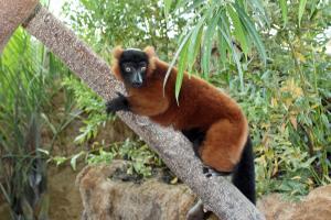 Red Ruff Lemur 2