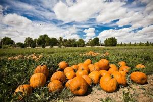 Pumpkins at Schnepf Farms
